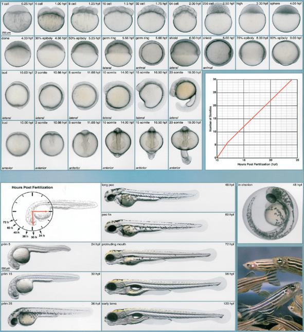 uad00 ub9ac uc790  u0026gt  zebrafish  uc0ac uc721 ud301  u0026gt   uc81c ube0c ub77c ud53c uc26c ub780